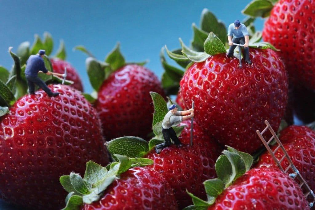 Strawberry seed harv 24x36 300dpi