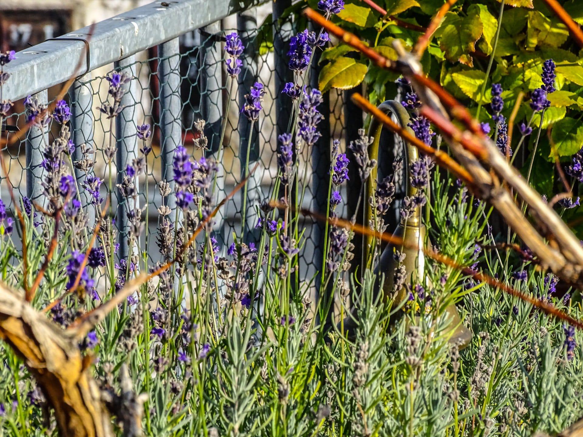 2015 11 08 lavendelbluete