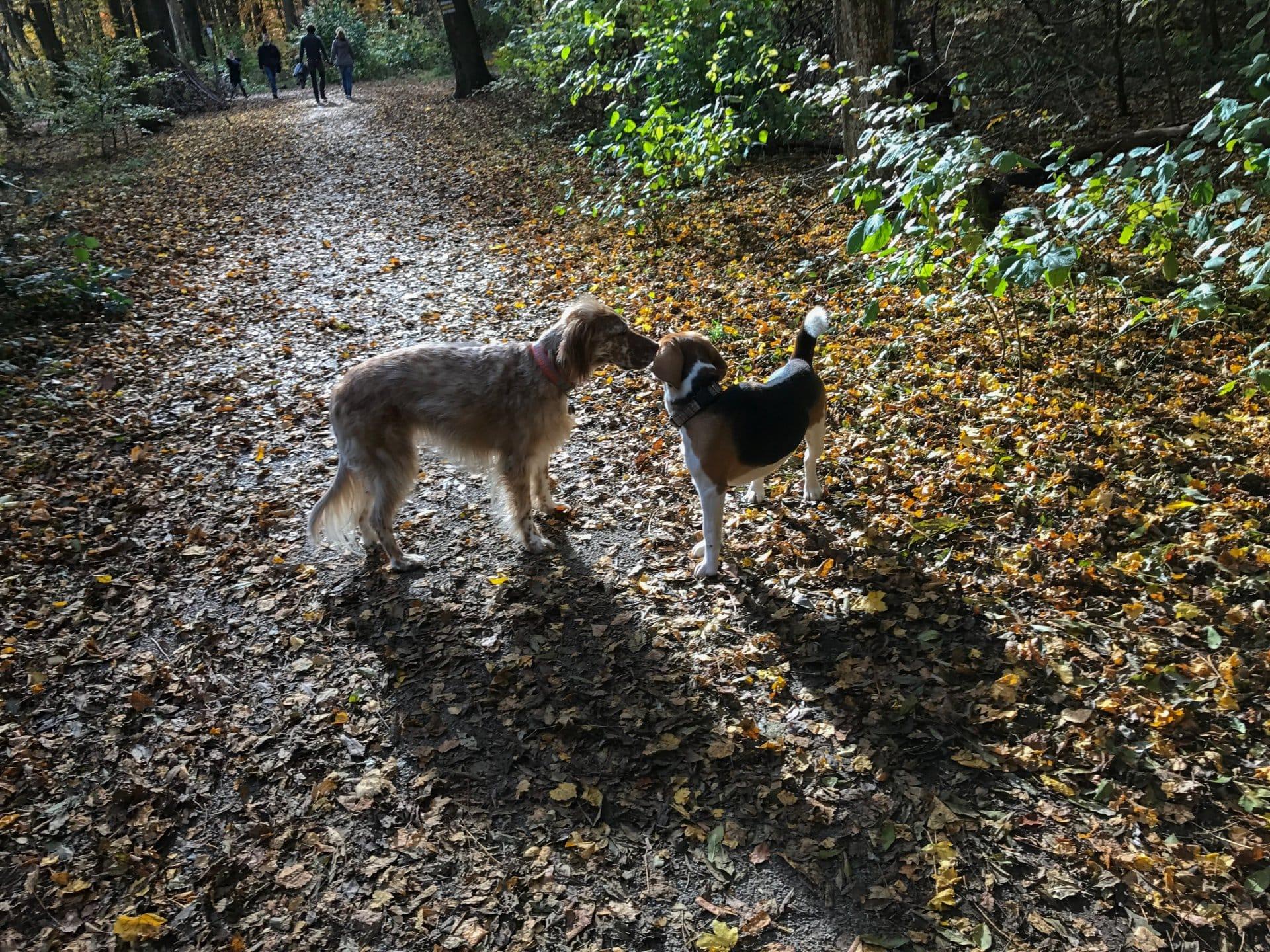 2016 11 01 beagleseverywhere